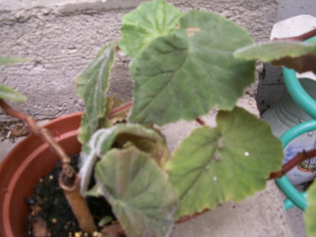 begonia Hispida Cuculifera Pict0226