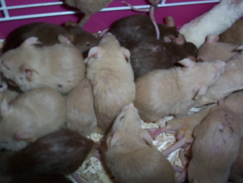 deux souris males en famille d'accueil il y a quelques années... Ratoux10