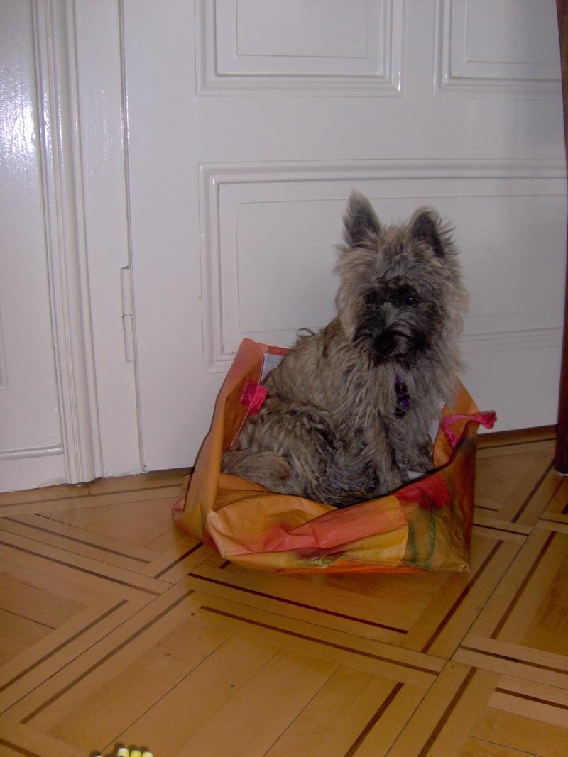 Alinka    cairn terrier Alinka16