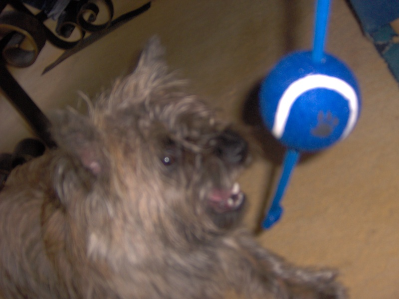 Alinka    cairn terrier - Page 2 Dacemb12