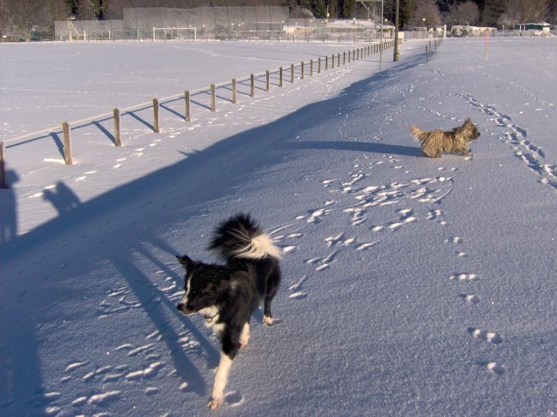 Alinka    cairn terrier - Page 2 Janvie15