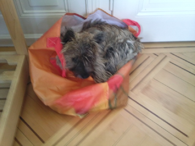 Alinka    cairn terrier Photo021