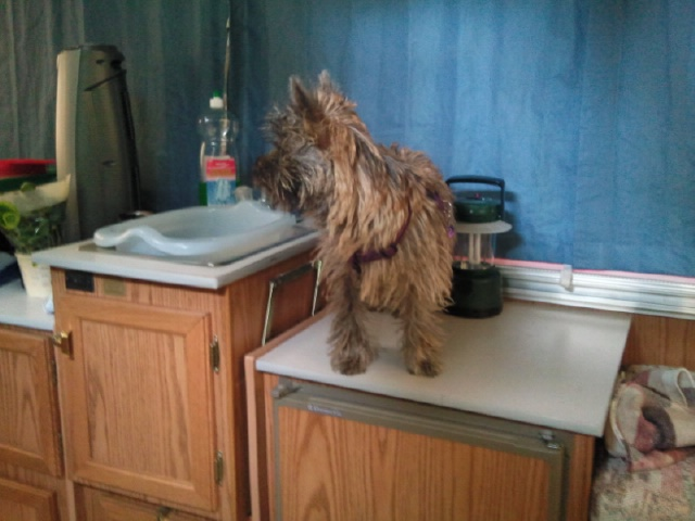 Alinka    cairn terrier Photo025