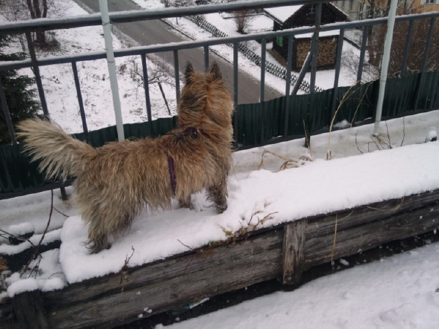 Alinka    cairn terrier - Page 2 Photo127