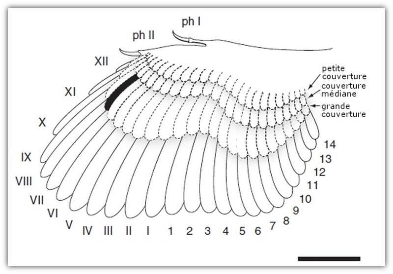 Paleontologie, l'actu... - Page 4 Aile-a10