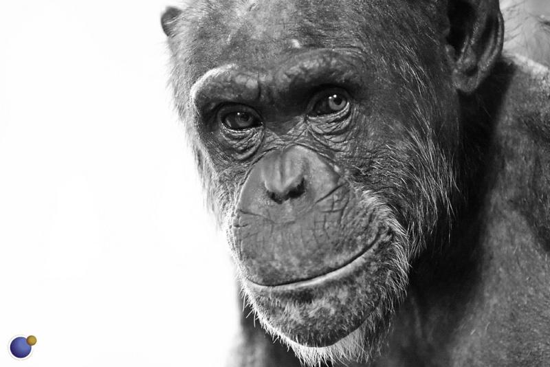 Paleontologie, l'actu... - Page 4 Chimpa10
