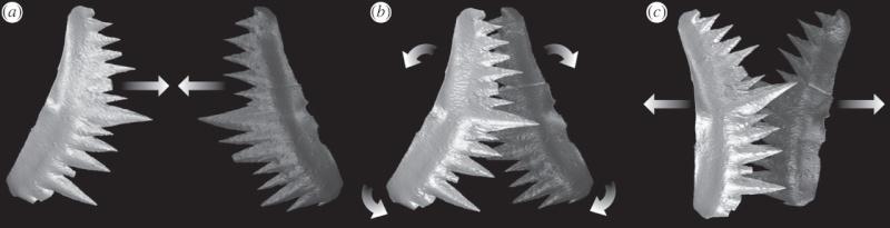 Paleontologie, l'actu... - Page 5 Conodo10