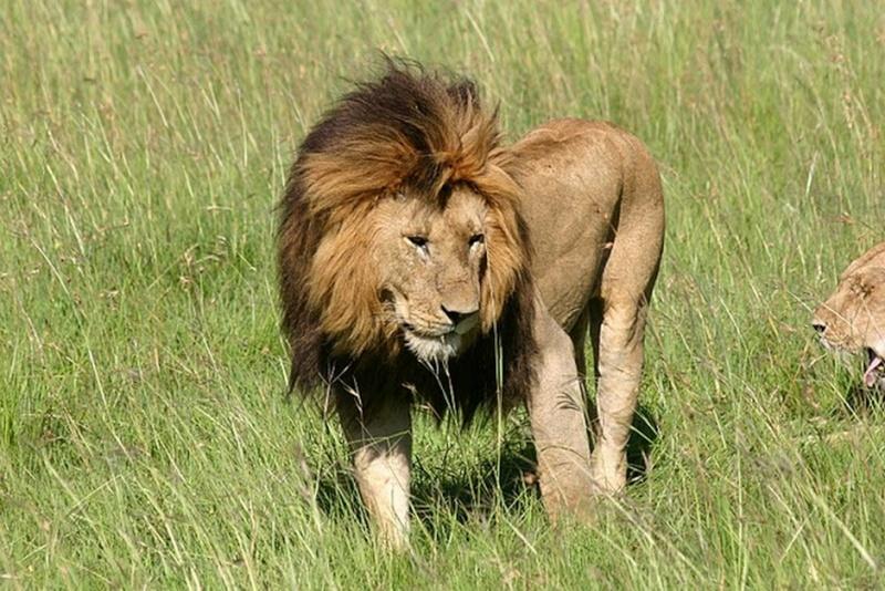 Zoologie... Lion-m10