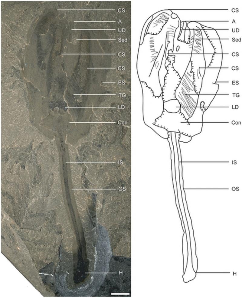 Paleontologie, l'actu... - Page 4 Siphus10
