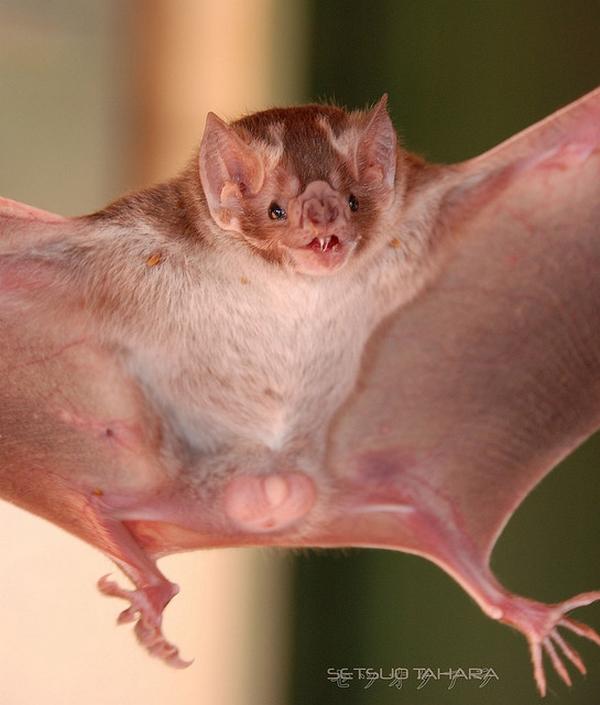 Zoologie... Vampir10