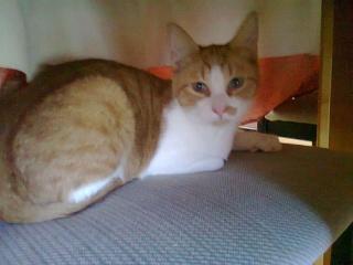 Hélium, chaton roux et blanc né fin Juin 2012 Photo011