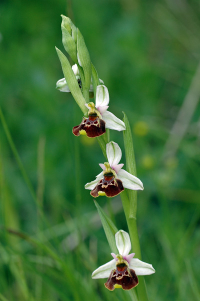 Ophrys pseudoscolopax ( Ophrys fausse bécasse ) Drome_23