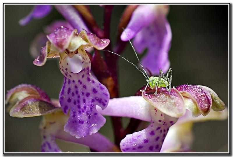 Orchidées et... sauterelles - Page 2 Drome_36