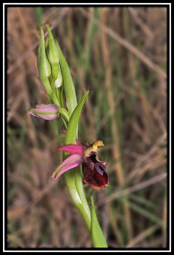 Ophrys arachnitiformis O-arac10