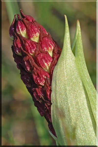 Orchis purpurea ( Orchis pourpre ) Pupuer10