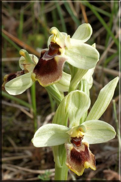Ophrys tenthredinifera ( Ophrys guêpe ) Tenthr12