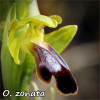 Tous les Ophrys de France - Page 2 Zonata11