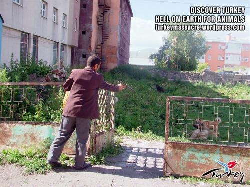 """Opération """"nettoyage"""" a Kars, Turquie, des chiens sont broyés vivants !!!!! Kars110"""
