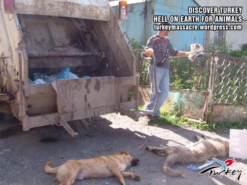 """Opération """"nettoyage"""" a Kars, Turquie, des chiens sont broyés vivants !!!!! Kars210"""