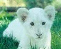 AIDEZ a maintenir en vie les lions blancs Lion_b10