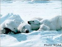 Aidez les ours blancs a survivre !!!! A signer avant le 14/07 Ours_b10