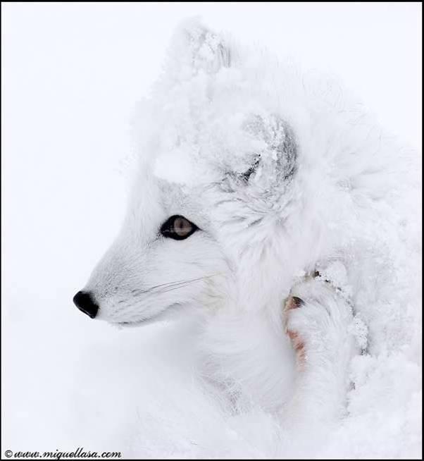 Sauvez la réserve nationale arctique Renard13