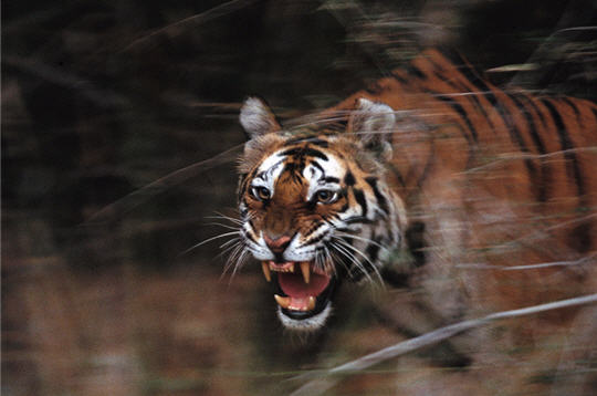 N'envoyez pas ces tigres en zone de guerre !!! Tigr10