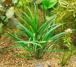 Plantes non aquatiques Founta10