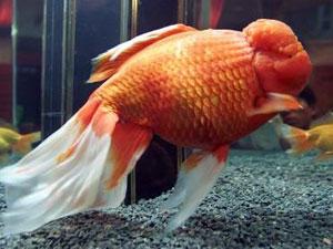 La vérité sur le poisson rouge Gros_o10