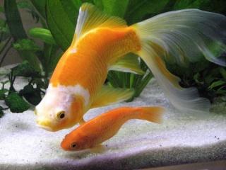 La vérité sur le poisson rouge Img47511