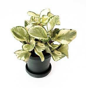 Plantes non aquatiques Pepero10
