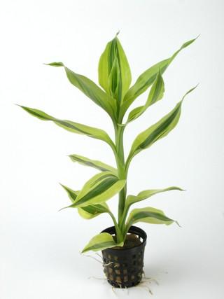 Plantes non aquatiques - Page 2 Pflanz10