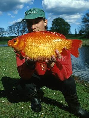 La vérité sur le poisson rouge Post-111
