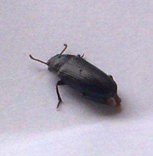Besoin d'aide pour identification d'un insecte 18072010