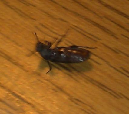Besoin d'aide pour identification d'un insecte Insect10