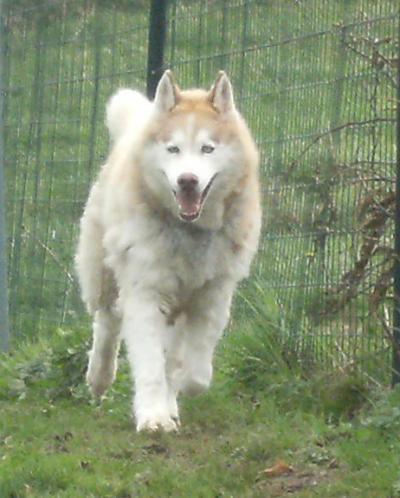 LOUPIAC... husky... adopté en juillet 2008 Loupia10