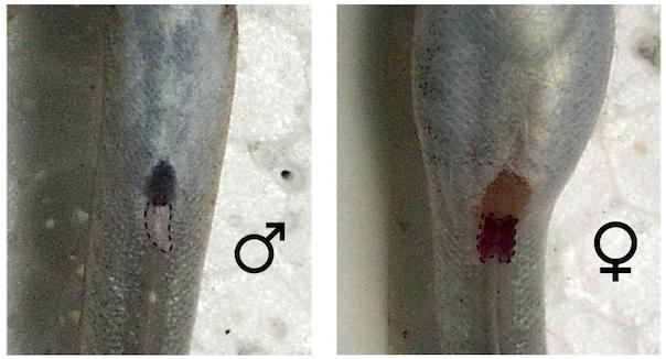"dimorphisme et reproduction periophtalmus ""novemradiatus"" Sexage11"