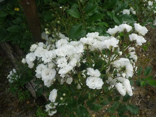 Rosa 'Little White Pet' !!! 02062017