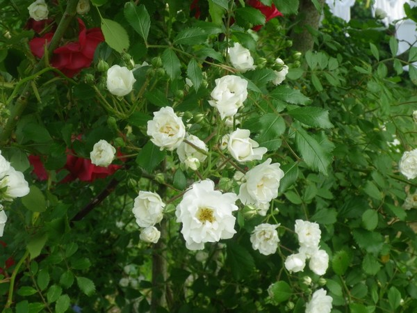 Rosa 'Little White Pet' !!! 02062018