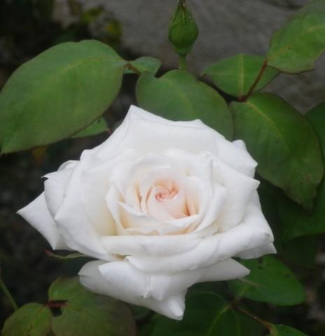 rosier Neige d Avril 02062028