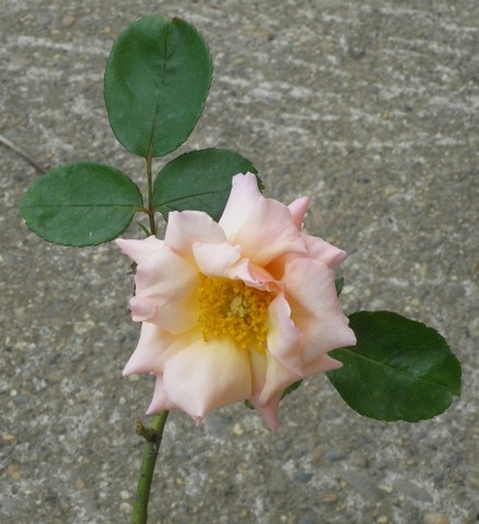 Rosa Compassion  02072014