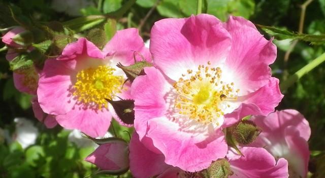 Rosa 'American Pillar' !!! 04062010