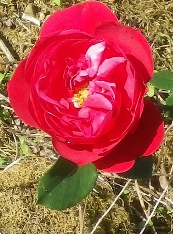 Rosa 'Mr Lincoln' !!! 04112013