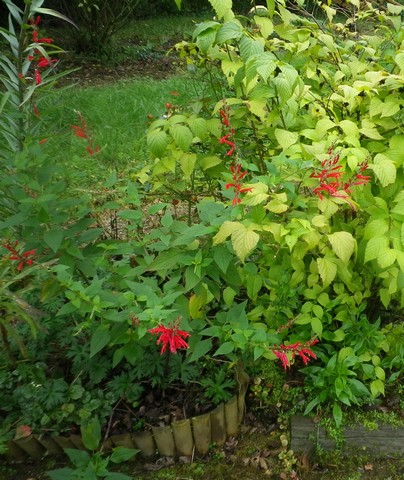 Salvia rutilans !!! - Page 3 04112019