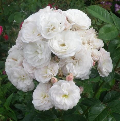 Rosa 'Bouquet Parfait' !!! 06062024