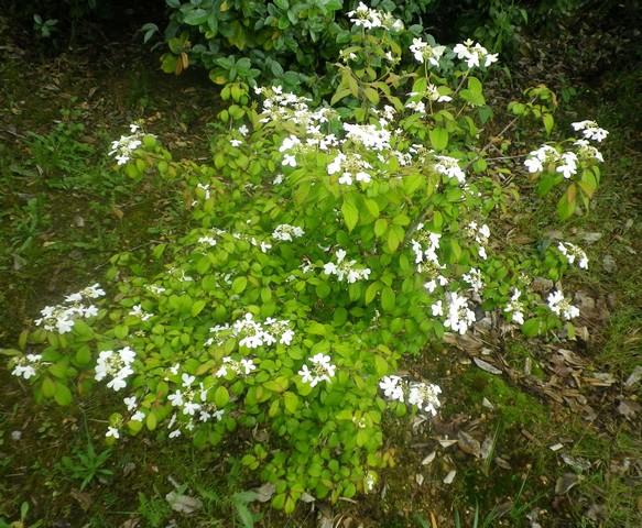 Viburnum plicatum 'Watanabe' !!! 08052017