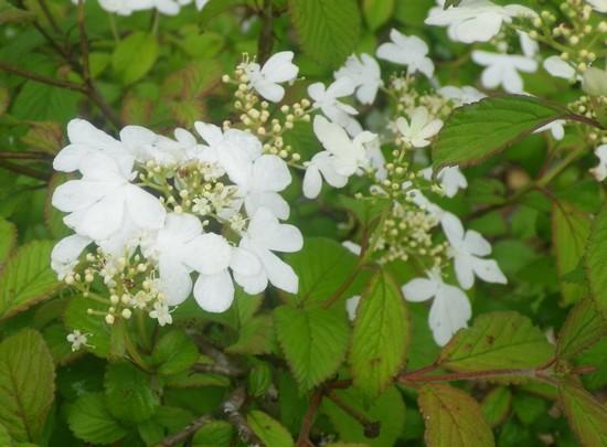 Viburnum plicatum 'Watanabe' !!! 08052018