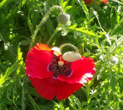 Papaver...........gentil coquelicot  09052012