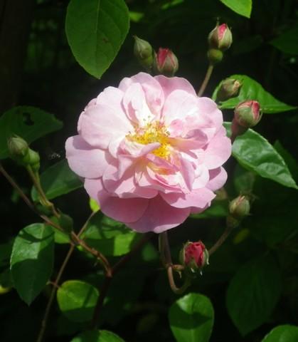 Rosa 'Cornélia' !!! 10052034
