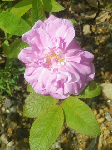 Rosa 'Thérèse Bugnet' !!! 10052036